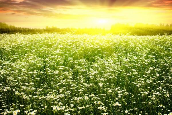 El sol alumbra un campo de manzanillas