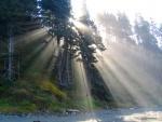 Los brillantes rayos del sol atraviesan los pinos