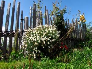 Flores junto a un cerca de madera