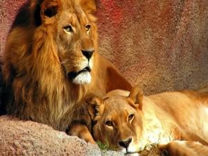 Leona tumbada junto al león