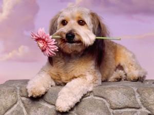 Un perro sosteniendo una gerbera en la boca