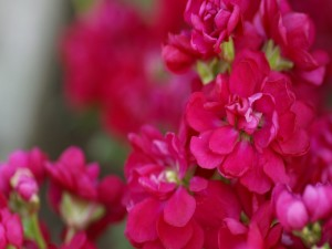 Postal: Flores con pequeños pétalos de color fucsia