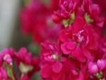 Flores con pequeños pétalos de color fucsia