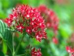 Pequeñas flores rojas en el tallo