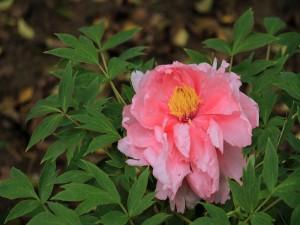 Postal: Una flor mustia de color rosa