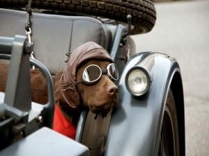 Dulce perro con gafas de aviador
