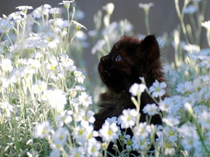 Postal: Gatito negro entre flores blancas