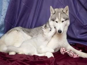 Mamá y cachorro huskies