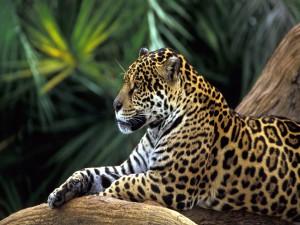 Un leopardo tranquilo sobre unos troncos