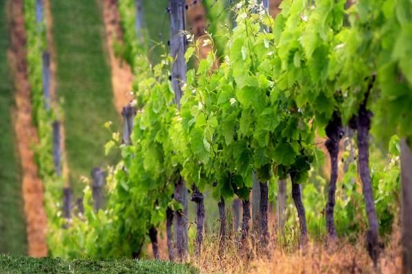 Vides en un gran viñedo