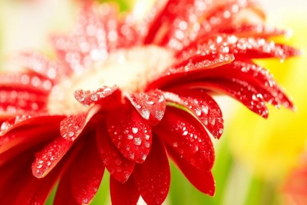 Un gerbera roja con brillantes gotas de agua