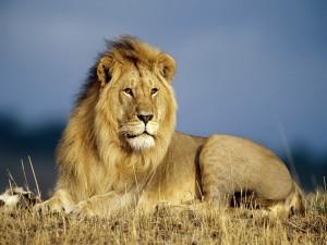 Un tranquilo león