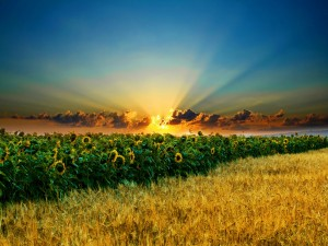 Atardecer en un campo de girasoles y trigo