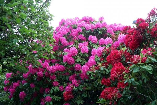 Arbustos con flores rojas y fucsias