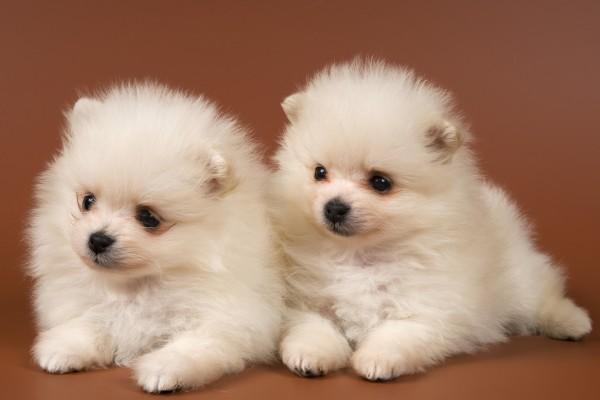 Dos pequeños perros de color blanco