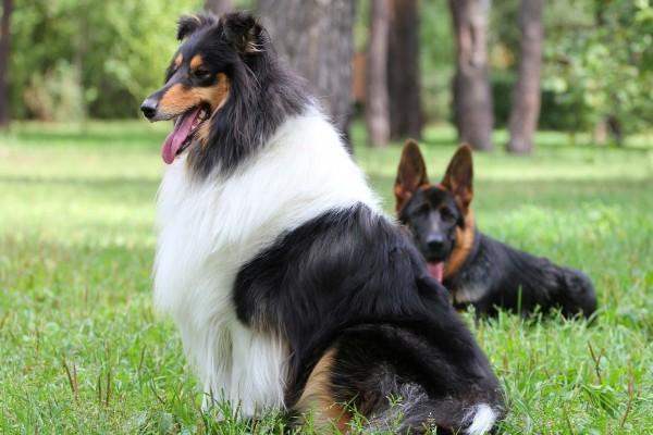 Dos perros tumbados en la hierba