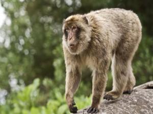 Curioso mono caminando sobre una rama