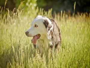 Perro cansado caminando en el campo