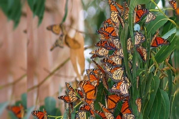 Colonia de mariposas
