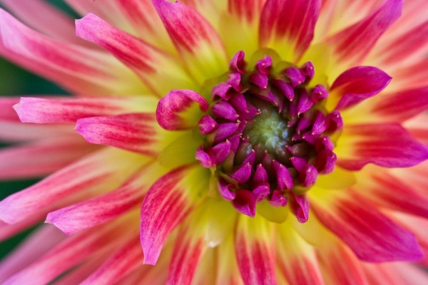 Pétalos amarillos y rosas formando una bonita flor