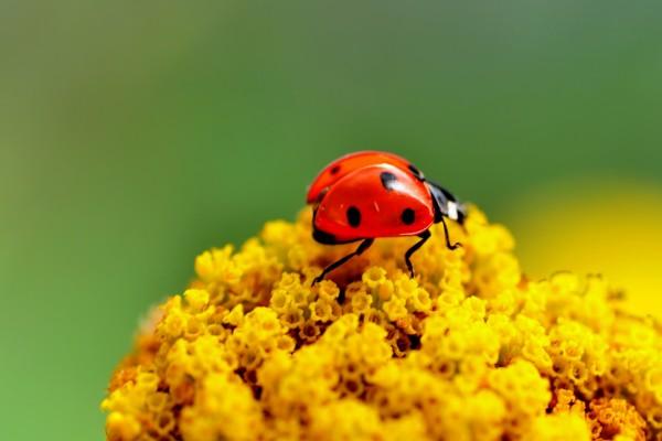 Una mariquita sobre pequeñas flores amarillas