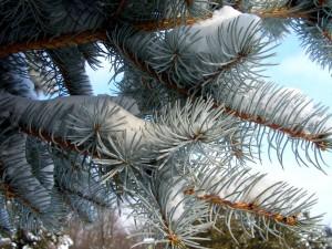 Nieve en las ramas del pino