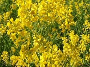 Postal: Tallos verdes con abundantes flores amarillas