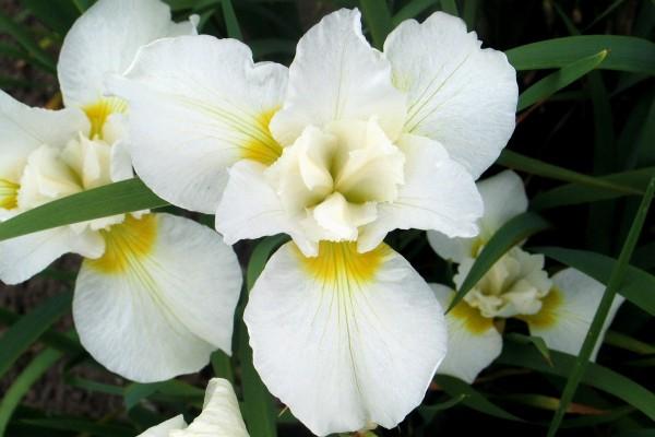 Hermosos iris blancos