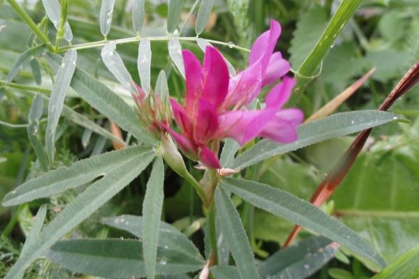 Flor fucsia creciendo en la planta