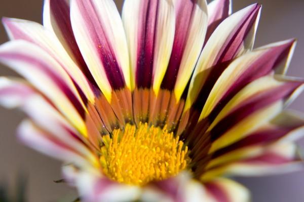 El centro de una flor con largos pétalos
