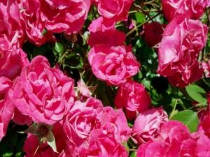 Postal: Rosales con hermosas rosas