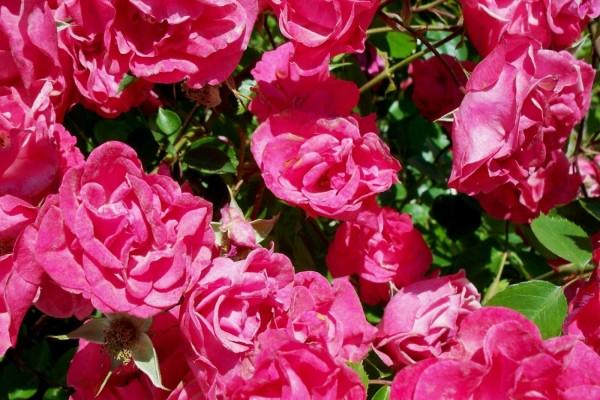 Rosales con hermosas rosas
