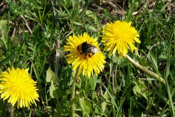 Abeja de gran tamaño posada en la flor amarilla