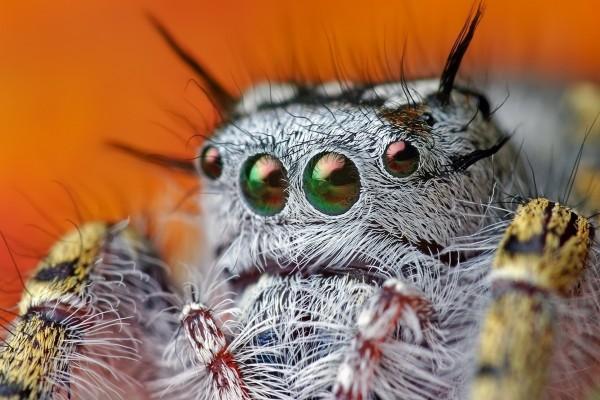 Los ojos de una tarántula