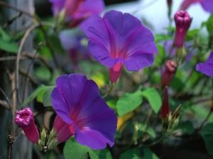 Flores moradas creciendo en la planta