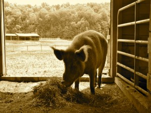Un cerdo comiendo