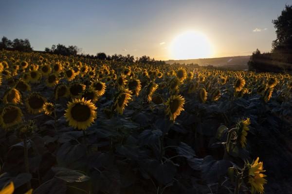 El sol ilumina una hermosa plantación de girasoles