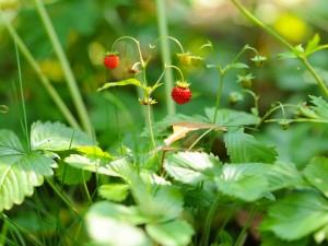Exquisitas y delicadas fresas creciendo en la planta