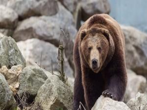 Postal: Gran oso caminando entre las piedras