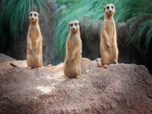 Postal: Trío de suricatas