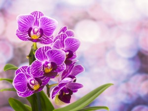 Magníficas orquídeas color fucsia