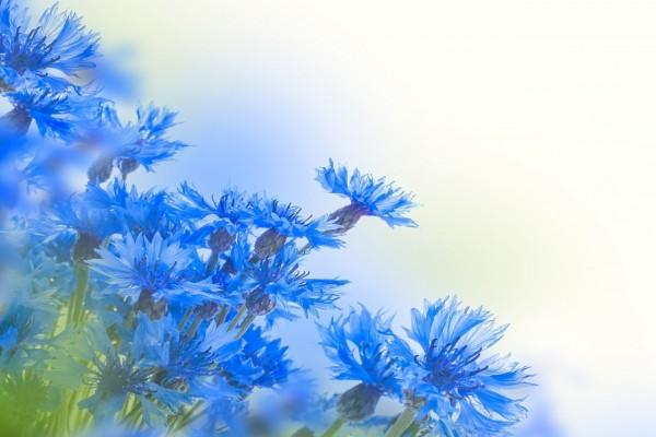 Extraordinarias flores con pétalos azules