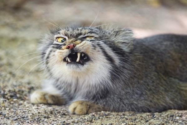 Gato de Pallas mostrando los colmillos