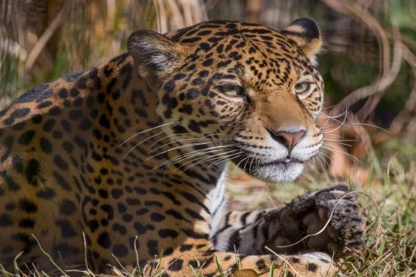 Jaguar tumbado mirando con atención