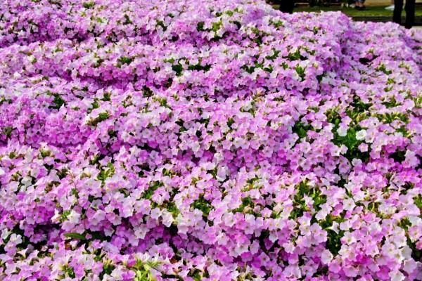Jardín cubierto de petunias