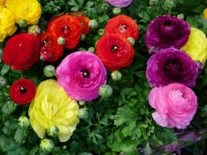 Postal: Coloridas ranunculus creciendo en el suelo