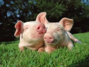 Dos cerdos amigos tumbados en la hierba