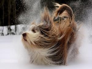 Perro sacudiéndose la nieve