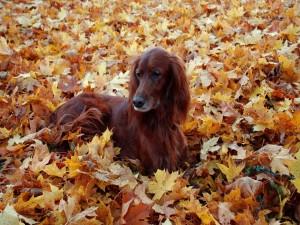 Perro marrón entre las hojas de otoño