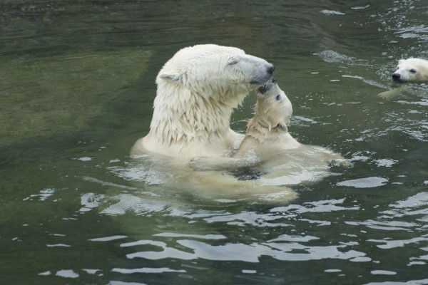 Osa polar en el agua con sus oseznos